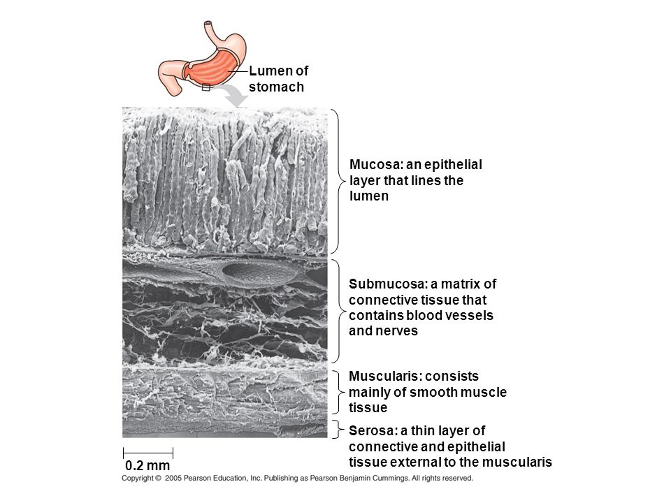Lumen of stomach. Mucosa: an epithelial. layer that lines the. lumen. Submucosa: a matrix of. connective tissue that.