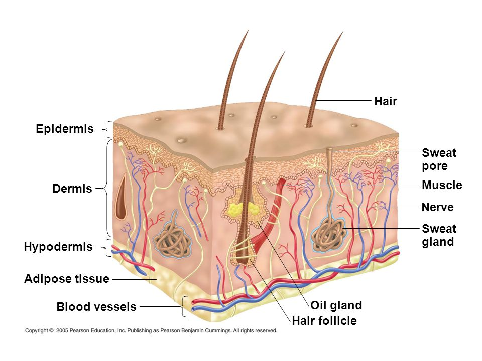 Hair Epidermis. Sweat. pore. Muscle. Dermis. Nerve. Sweat. gland. Hypodermis. Adipose tissue.