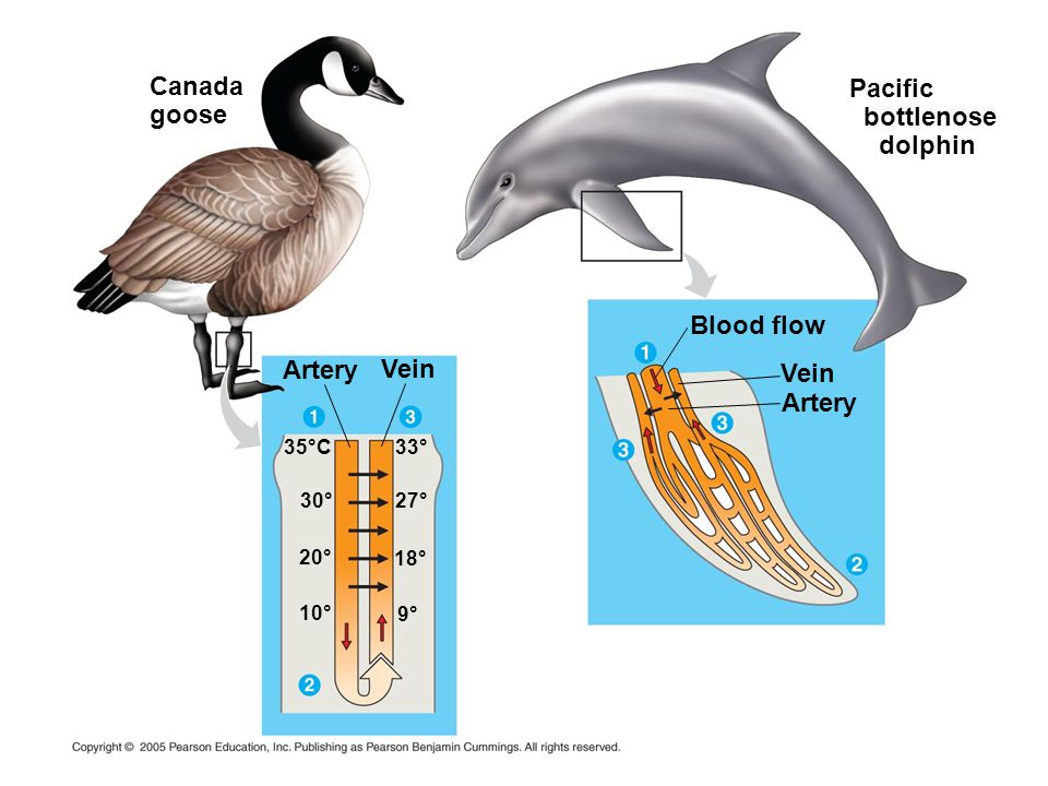 Canada goose Pacific bottlenose dolphin Blood flow Artery Vein Vein