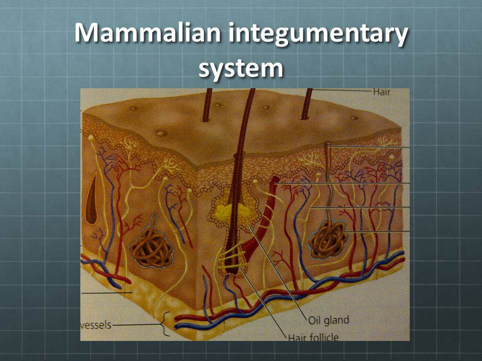 Mammalian integumentary system