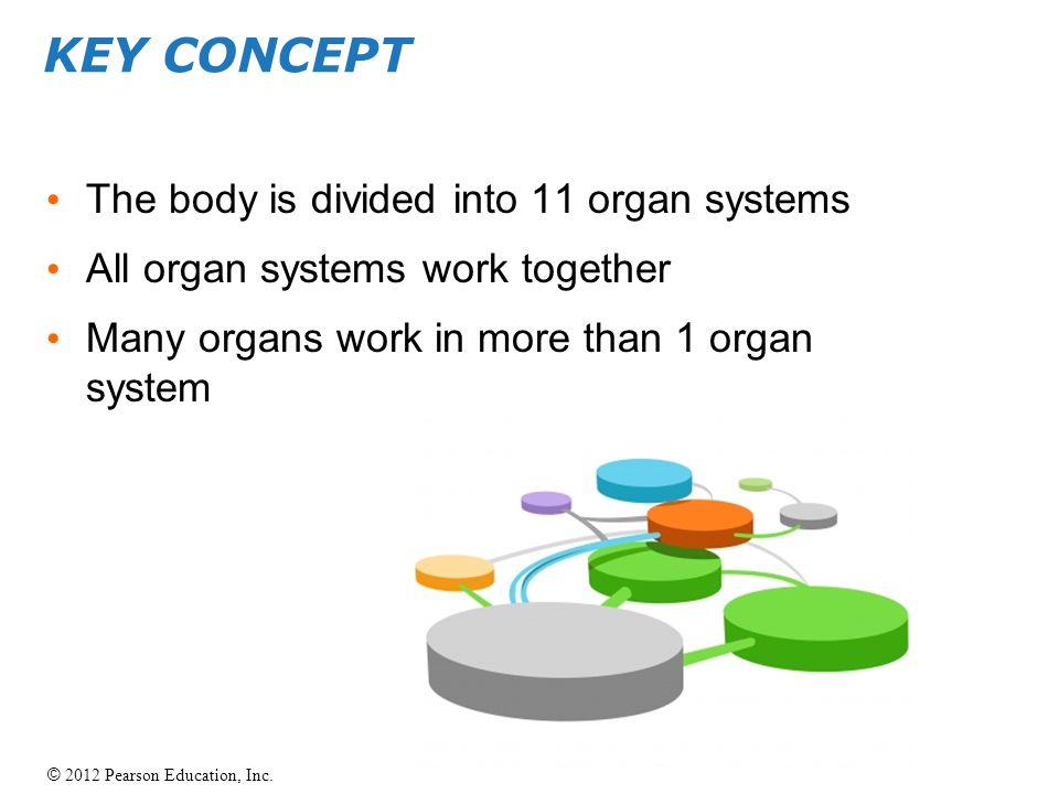 KEY CONCEPT The body is divided into 11 organ systems