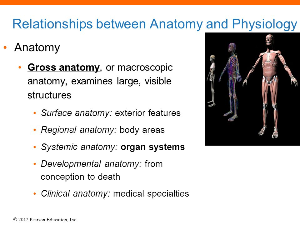 Relationships between Anatomy and Physiology