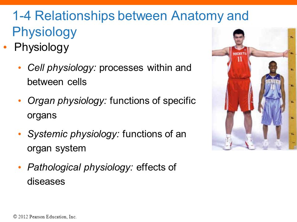 1-4 Relationships between Anatomy and Physiology