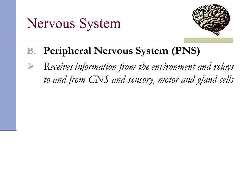 Nervous System Peripheral Nervous System (PNS)