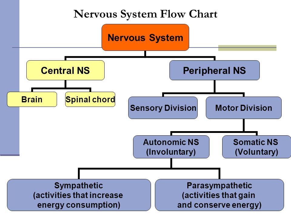 Nervous System Flow Chart
