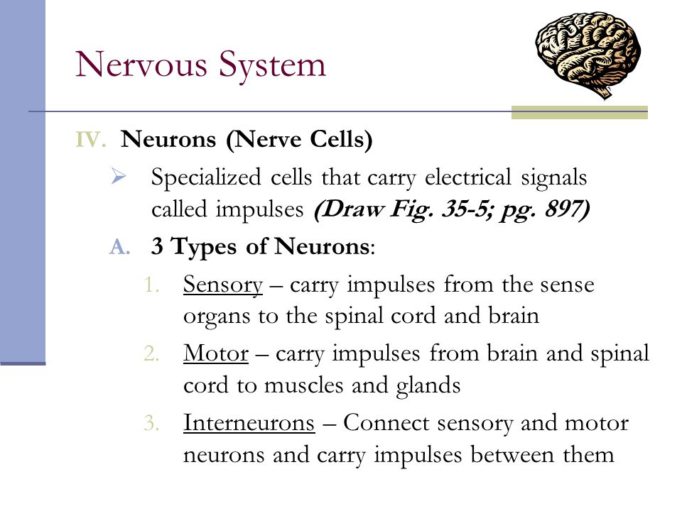 Nervous System Neurons (Nerve Cells)