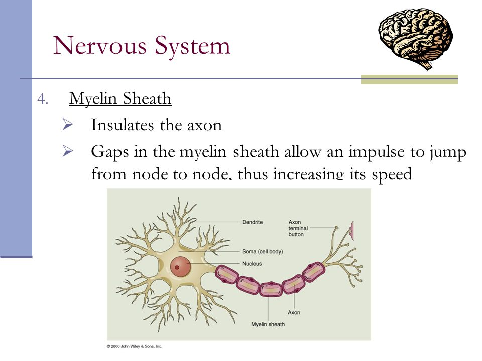Nervous System Myelin Sheath Insulates the axon
