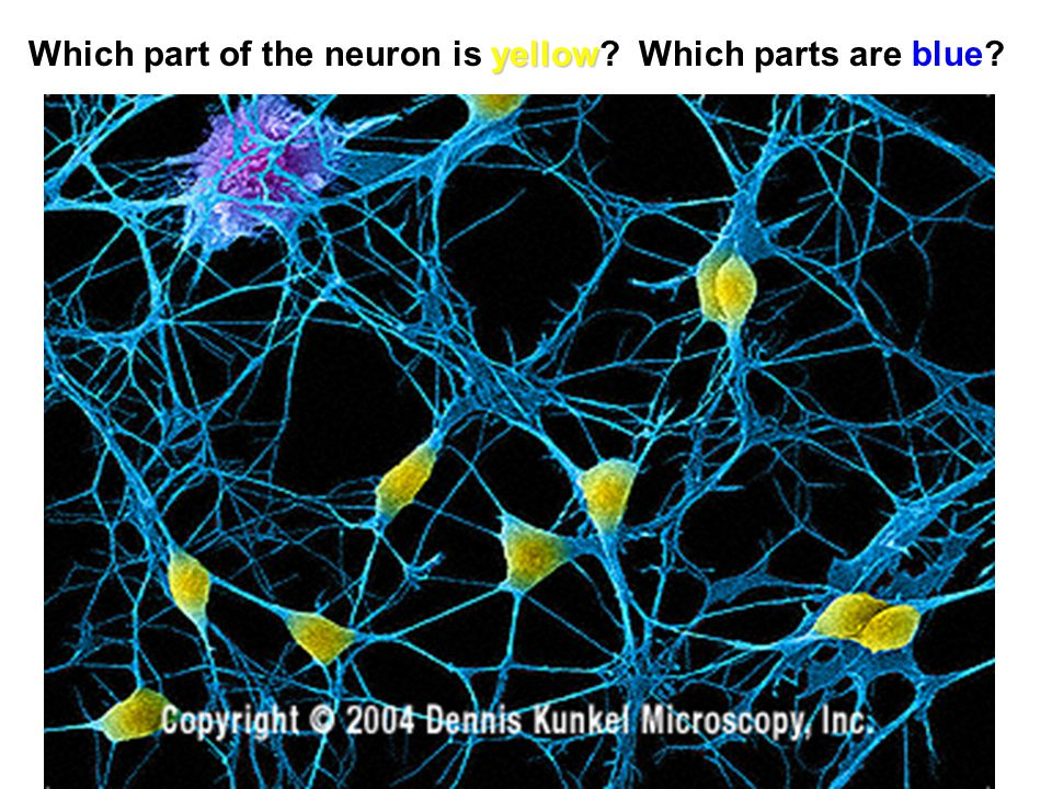 Which part of the neuron is yellow Which parts are blue