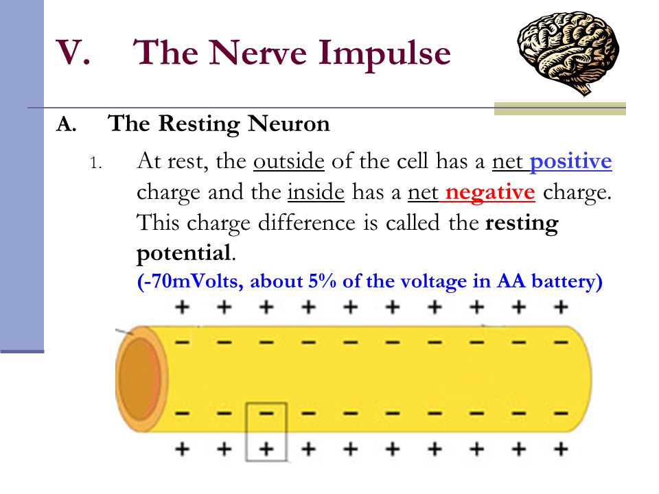 The Nerve Impulse The Resting Neuron