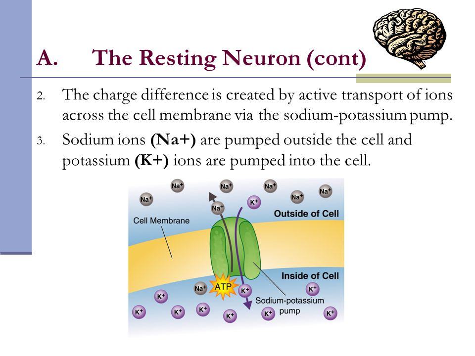 The Resting Neuron (cont)