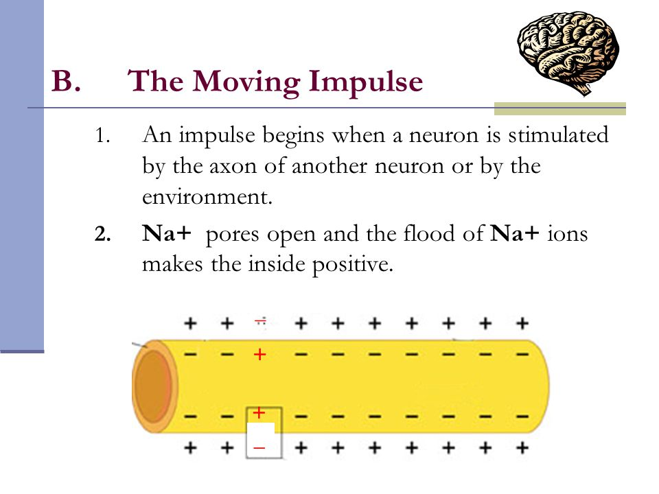 The Moving Impulse An impulse begins when a neuron is stimulated by the axon of another neuron or by the environment.