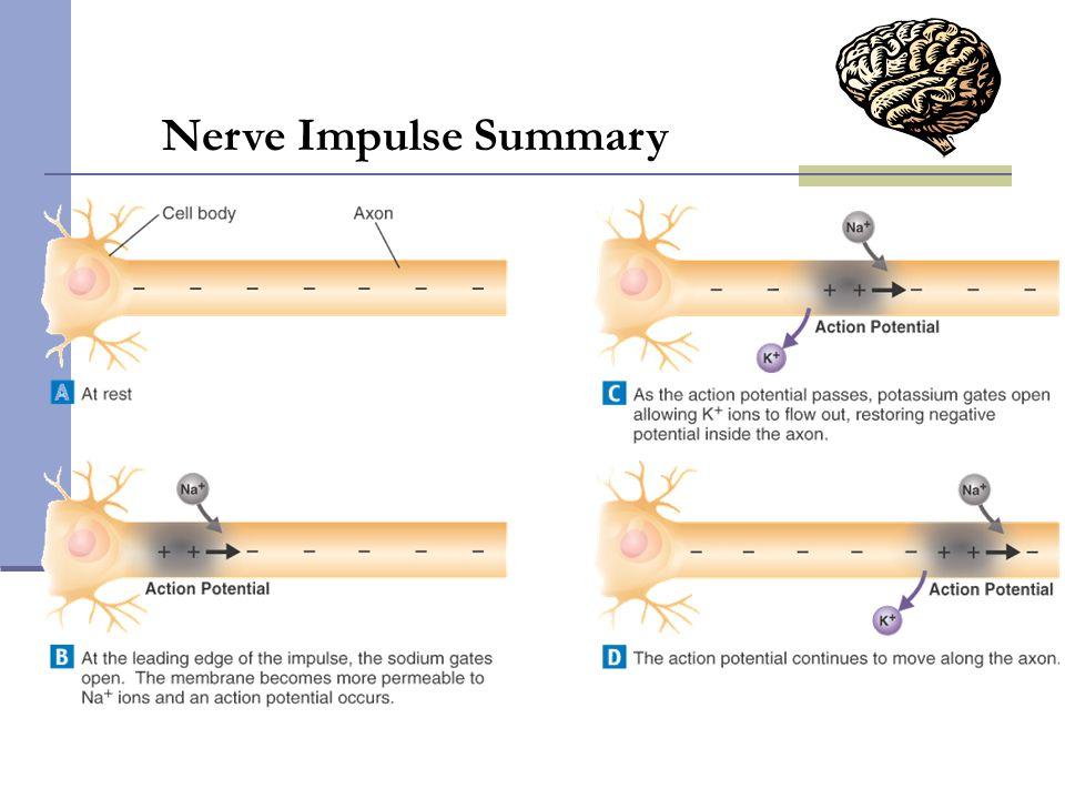 Nerve Impulse Summary