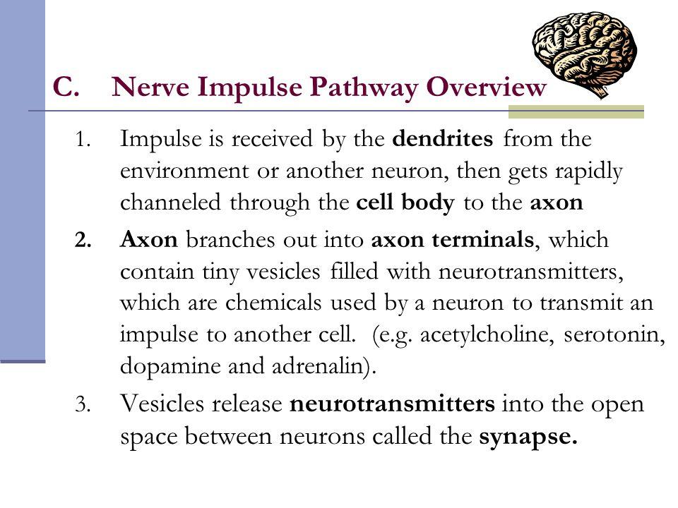 Nerve Impulse Pathway Overview