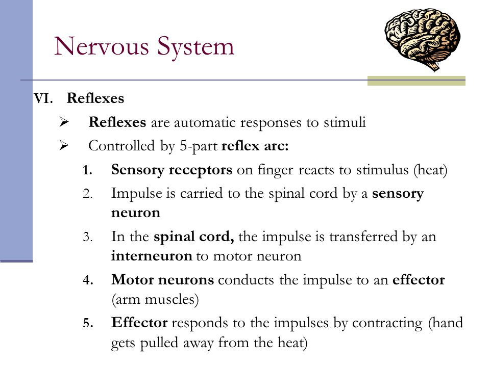 Nervous System Reflexes Reflexes are automatic responses to stimuli