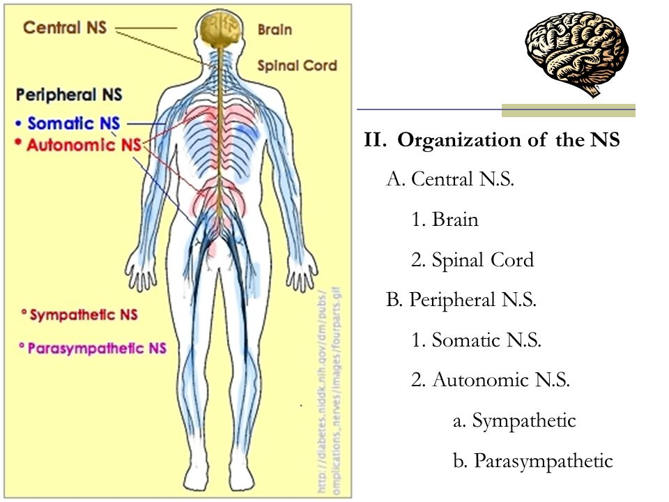 Organization of the NS Central N.S. 1. Brain. 2. Spinal Cord. B. Peripheral N.S. 1. Somatic N.S.