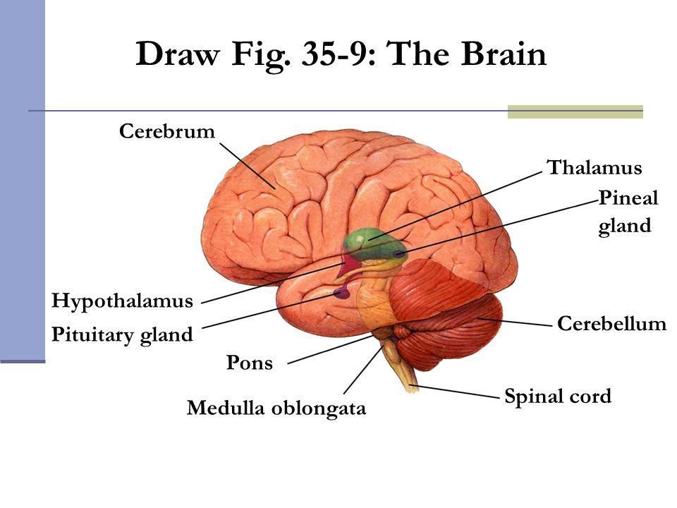 Draw Fig. 35-9: The Brain Cerebrum Thalamus Pineal gland Hypothalamus