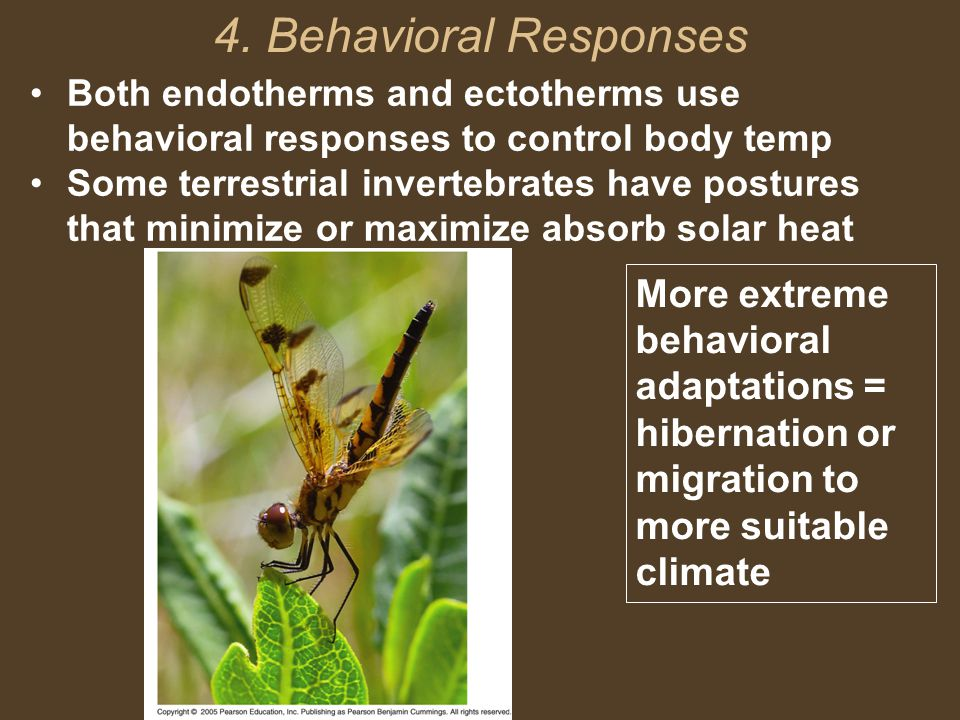 4. Behavioral Responses Both endotherms and ectotherms use behavioral responses to control body temp.