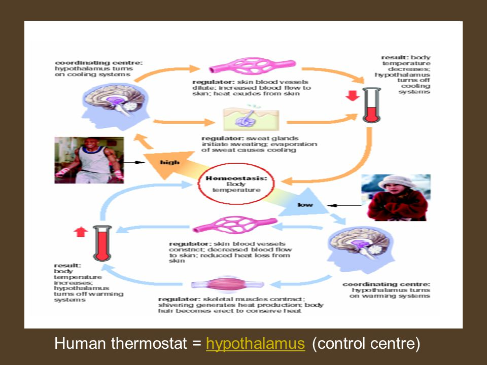 Human thermostat = hypothalamus (control centre)