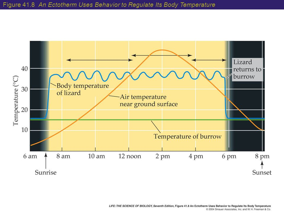 Figure 41.8 An Ectotherm Uses Behavior to Regulate Its Body Temperature