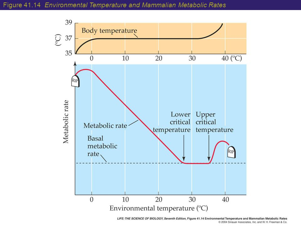 Figure 41.14 Environmental Temperature and Mammalian Metabolic Rates