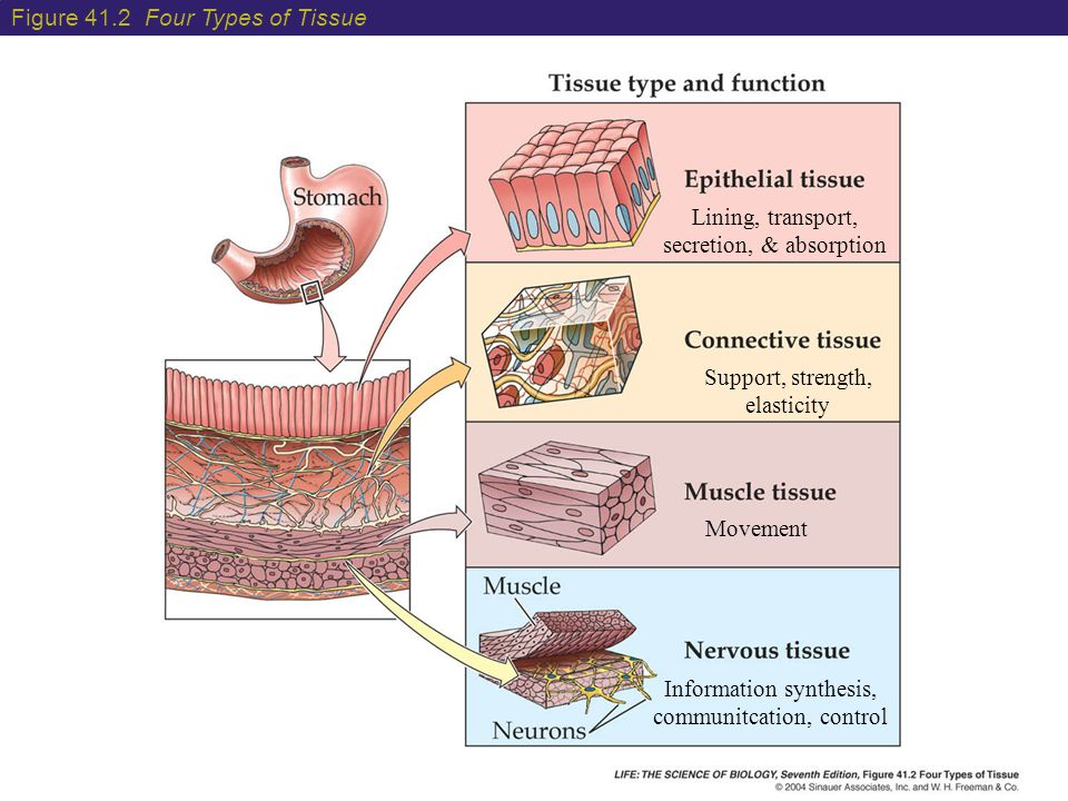 Figure 41.2 Four Types of Tissue