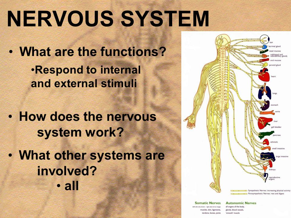 NERVOUS SYSTEM What are the functions