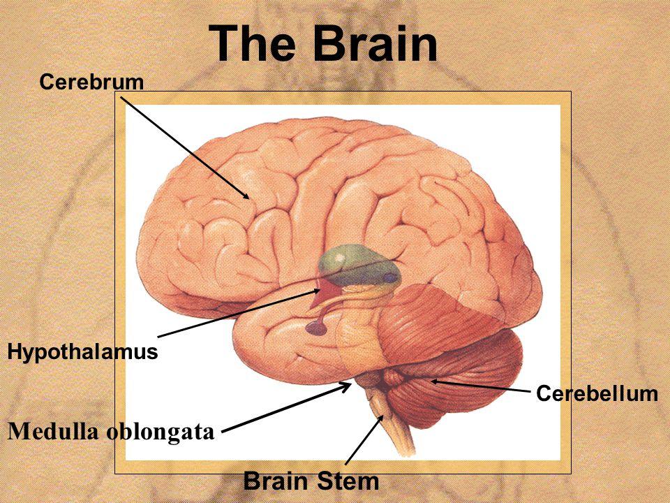 The Brain Medulla oblongata Brain Stem Cerebrum Hypothalamus