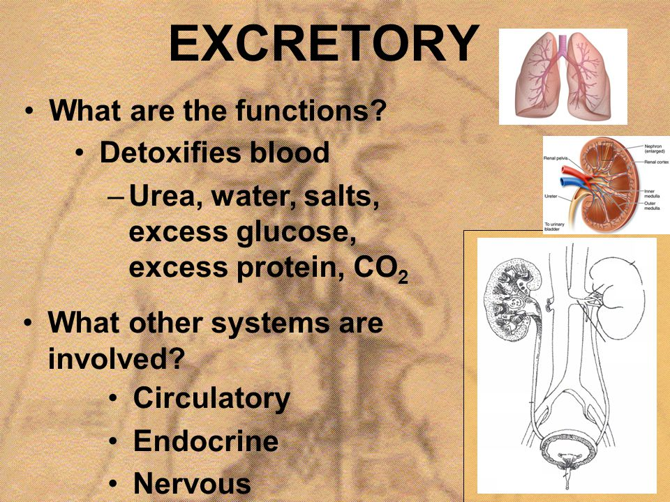 EXCRETORY What are the functions Detoxifies blood
