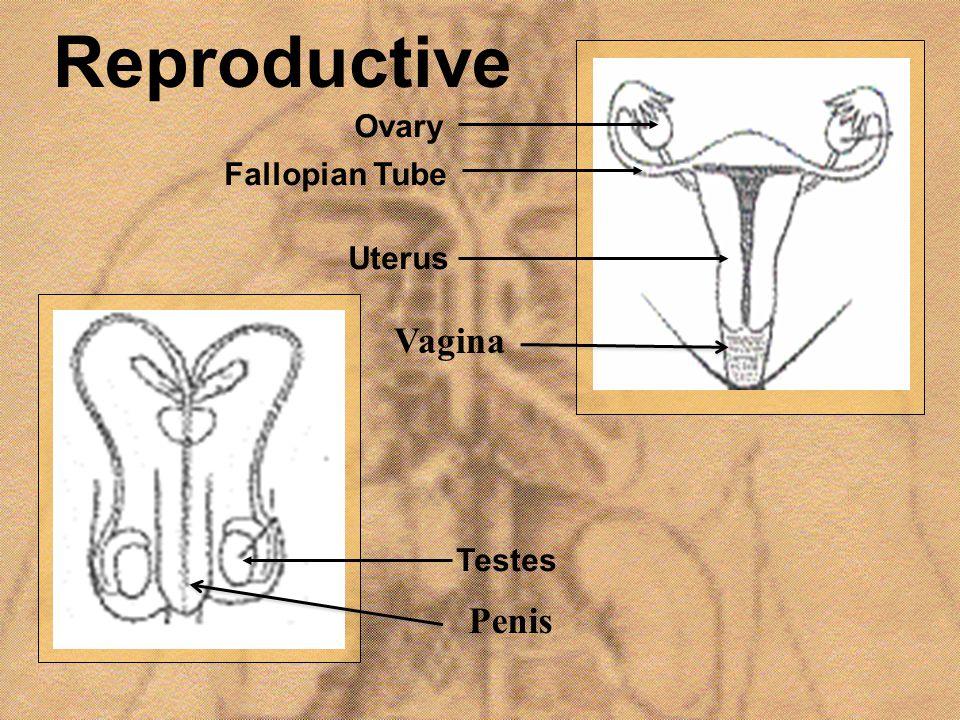 Reproductive Vagina Penis Ovary Fallopian Tube Uterus Testes