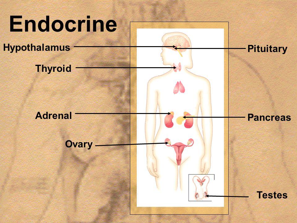 Endocrine Hypothalamus Pituitary Thyroid Adrenal Pancreas Ovary Testes