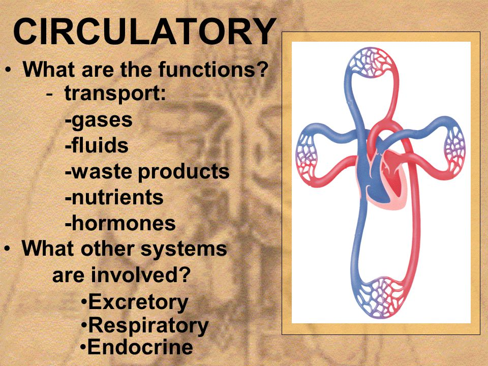 CIRCULATORY What are the functions
