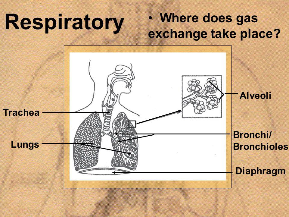 Respiratory Where does gas exchange take place Alveoli Trachea