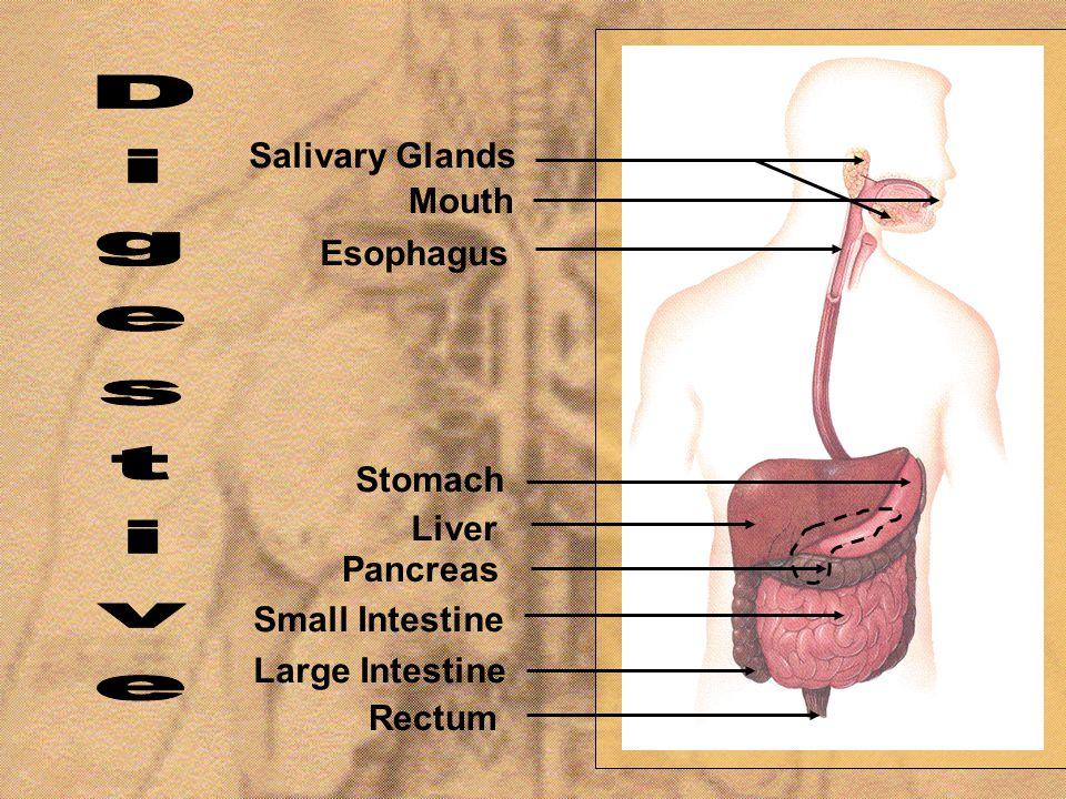 Digestive Salivary Glands Mouth Esophagus Stomach Liver Pancreas
