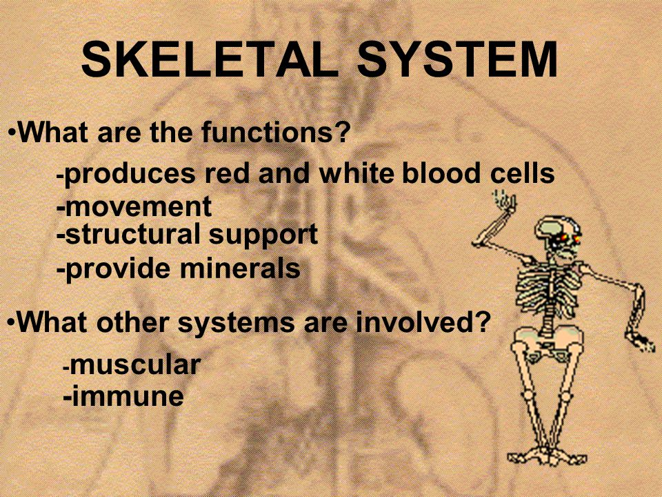 SKELETAL SYSTEM What are the functions -movement -structural support