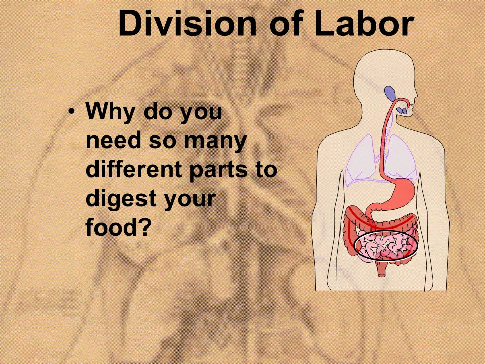 Division of Labor Why do you need so many different parts to digest your food