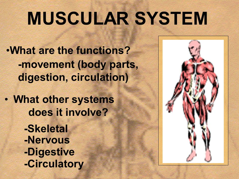 MUSCULAR SYSTEM What are the functions