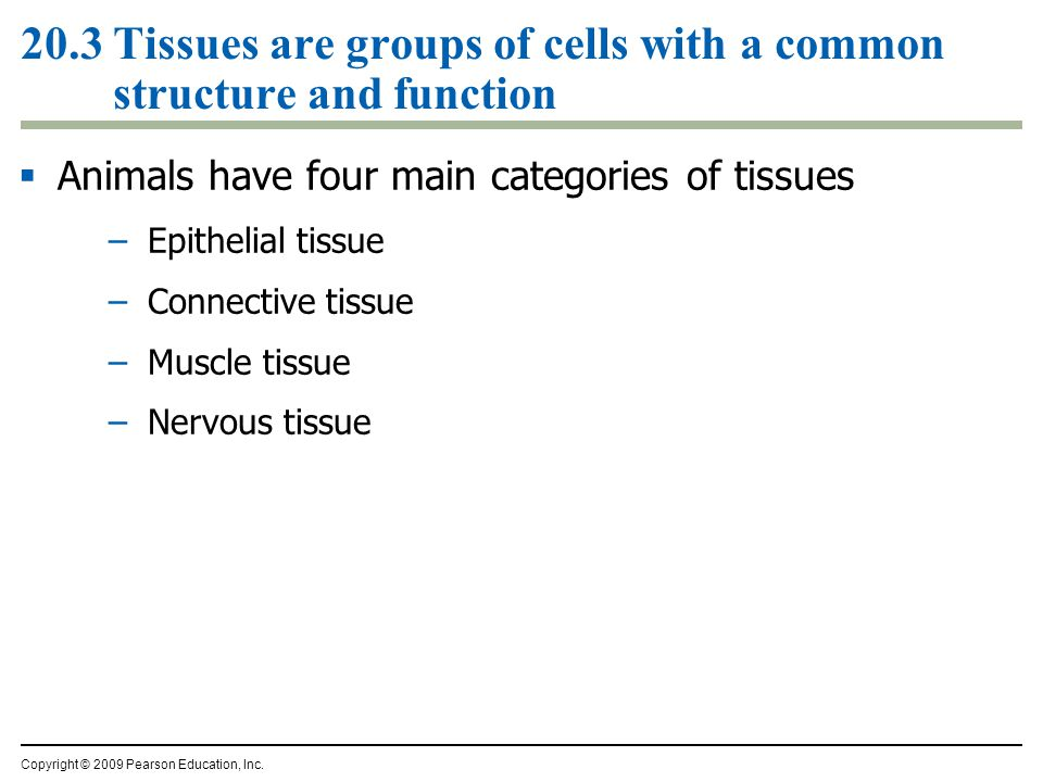 20.3 Tissues are groups of cells with a common structure and function