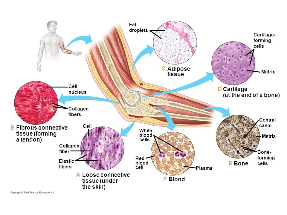 C Adipose tissue D Cartilage (at the end of a bone) B