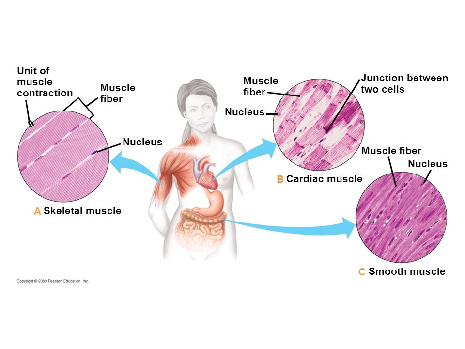 Unit of muscle Junction between contraction Muscle two cells Muscle