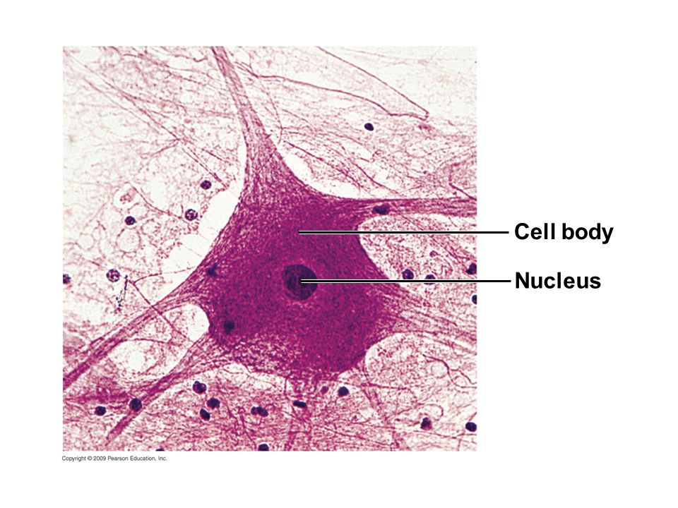 Cell body Nucleus Figure 20.7 Neurons in the spinal cord.