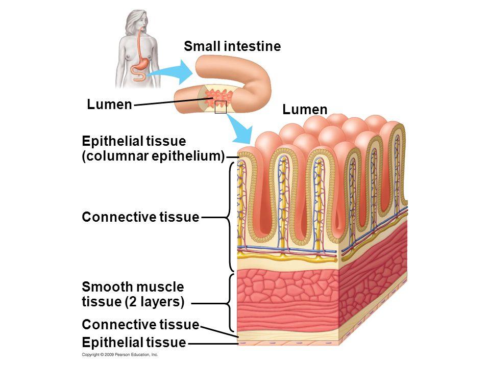 (columnar epithelium)