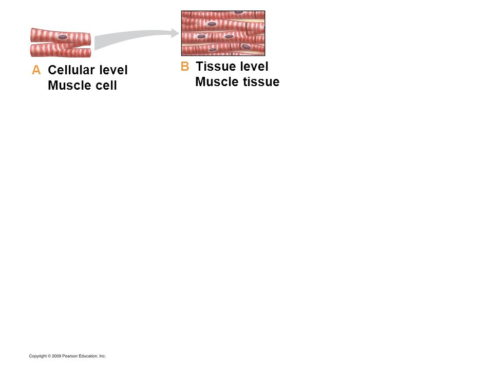 B Tissue level Muscle tissue A Cellular level Muscle cell