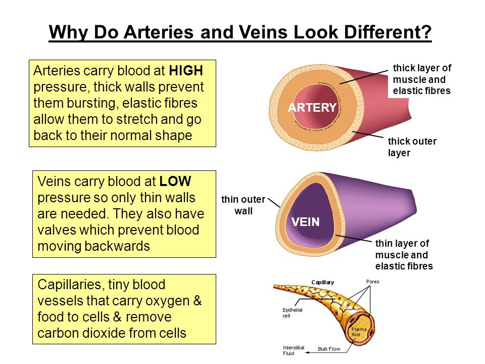 Why Do Arteries and Veins Look Different