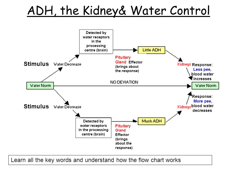 ADH, the Kidney& Water Control