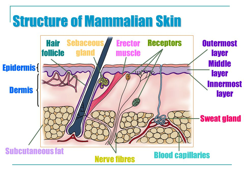 Structure of Mammalian Skin