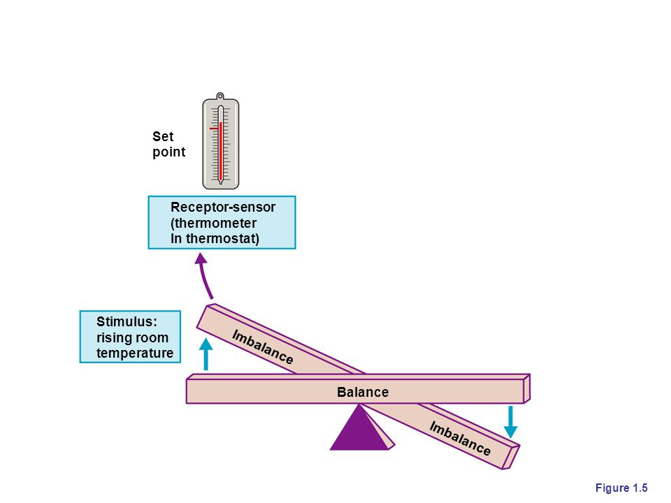 Set point Receptor-sensor (thermometer In thermostat) Stimulus: