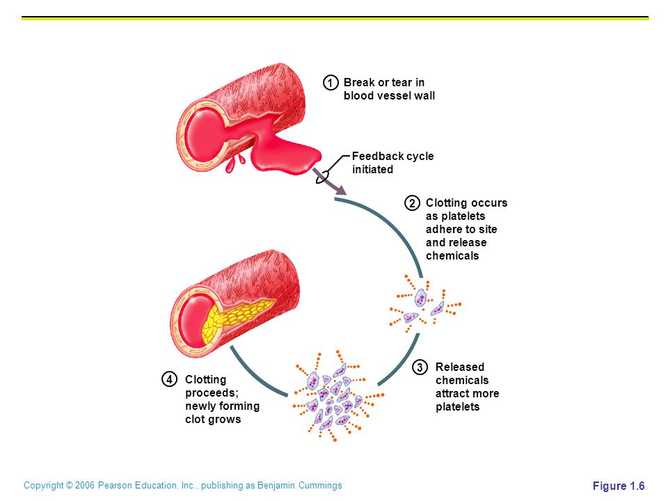 1 Break or tear in. blood vessel wall. Feedback cycle. initiated. 2. Clotting occurs. as platelets.