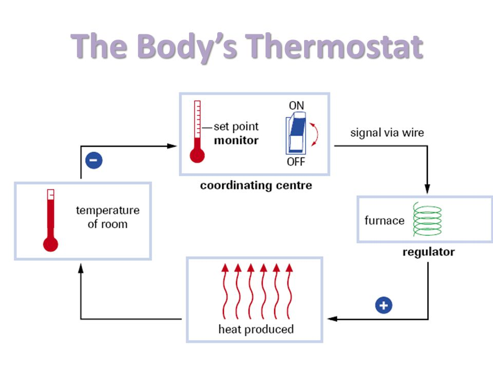 The Body's Thermostat Body Temperature Nerve Receptors Brain Muscles
