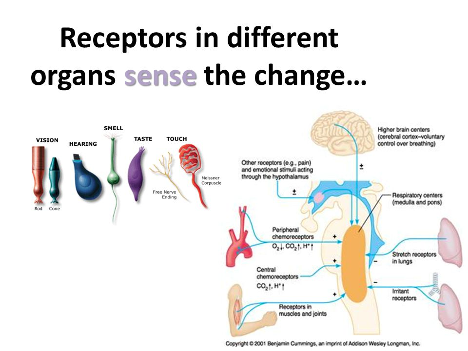 Receptors in different organs sense the change…