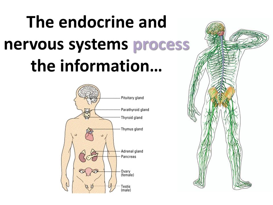 The endocrine and nervous systems process the information…